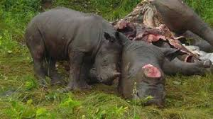Promoting Rhino horn as medicine at an Australian university: Has this contributed to the exponential rise in Rhinopoaching?