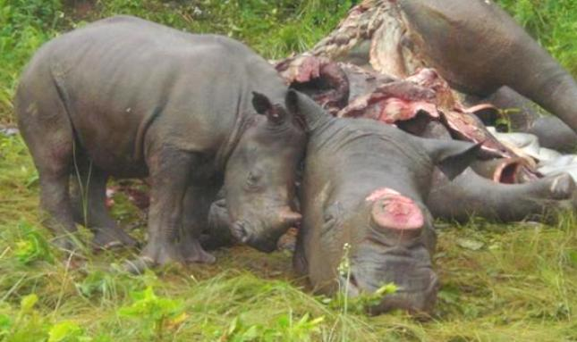 Rhino horn as lifesaving medicine – do the NICM really believe this? (the things people do for $10 million bucks!)